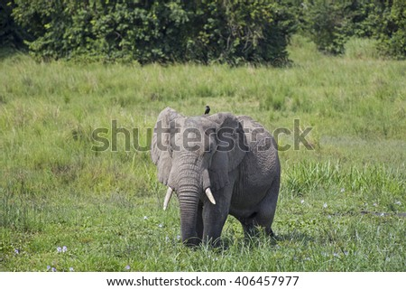 Big African elephant with a small bird in the savanna at the Murchison Falls National Park savanna in Uganda, Africa - stock photo