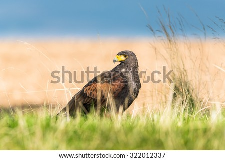 Big and powerful bird of prey Harris's Hawk sitting on the ground in the grass with his head turned behind him and observing his surroundings - stock photo