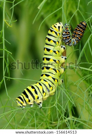 Big and small caterpillars eating leaves together - Black Swallowtail, Papilio polyxenes (second and fifth instars) - stock photo