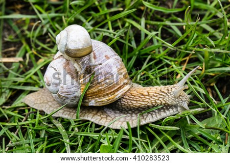 Big and small snail crawling on grass - stock photo