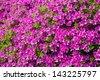 big azalea tree with the abundant blooms in the spring garden 2 - stock photo