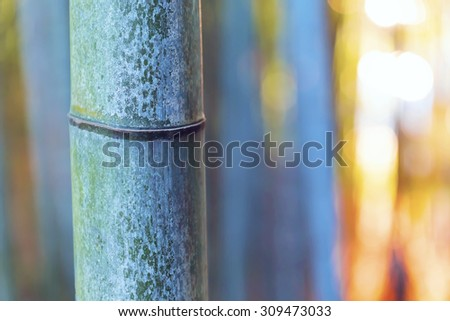 Big bamboo shoot close-up in the forest at sundown - stock photo