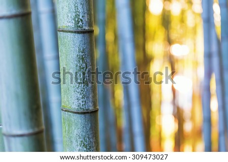 Big bamboo shoots close-up in the forest at sunset - stock photo