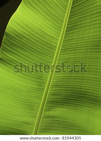 Big banana leaf - stock photo