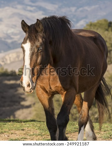 Big Bay Irish Draft horse walking toward camera with ears pricked. Diagonal white stripe on face, Blue eye. Scenic background.  - stock photo
