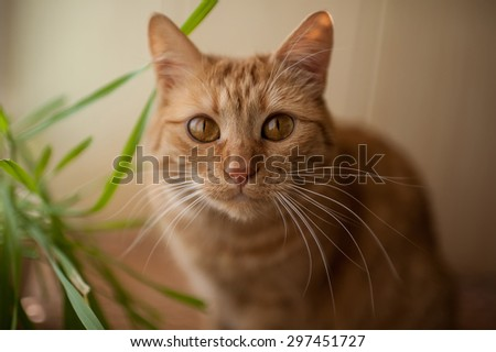 big beautiful eyes red cat - stock photo