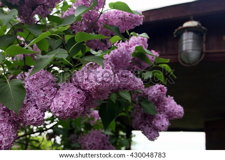 big beautiful good branch of purple lilac flower with green leaves closeup in the background of wooden country house and street lamp - stock photo