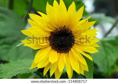 Big beautiful sunflowers growing in garden. summer - stock photo