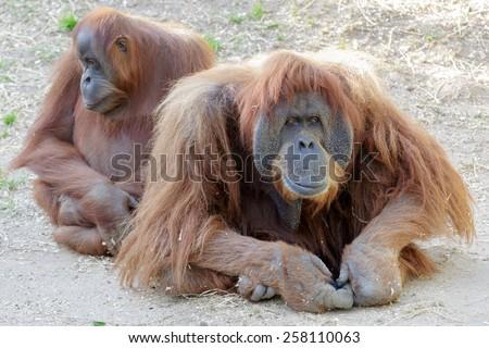 Big beauty orangutans family - stock photo