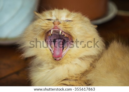 Big beauty red cat yawns in room - stock photo