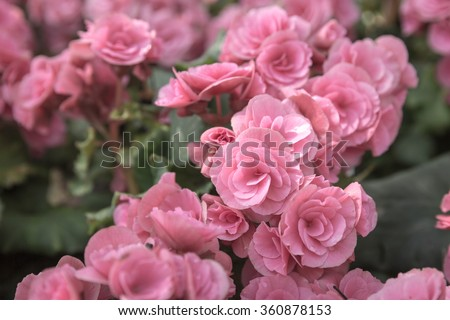 Big Begonia flowers, Beautiful background of flowers big begonias - stock photo