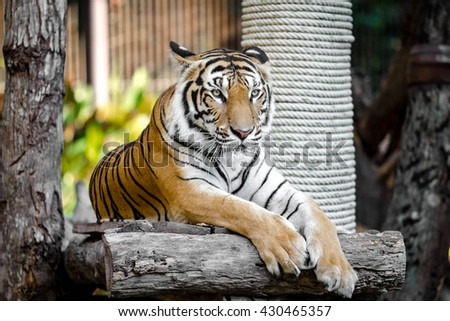 Big Bengal Tiger in the zoo - stock photo