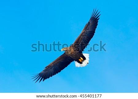 Big bird of prey on the sky. White-tailed eagle, Haliaeetus albicilla, big bird of prey on thy dark blue sky, with white tail, Japan. Action wildlife scene from sky. - stock photo
