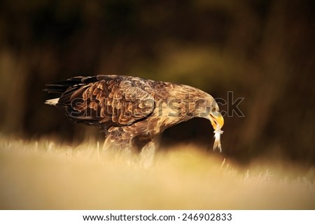 Big bird of prey White-tailed Eagle with catch fish sitting on the meadow with nice sun light - stock photo