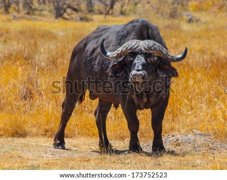 Big black buffalo in grasslands of Okavango delta - stock photo