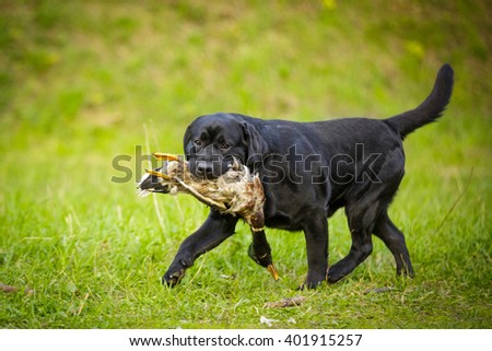 big black dog labrador retriever adult purebred lab in spring summer green park running with duck hunting working in field competition on the grass - stock photo