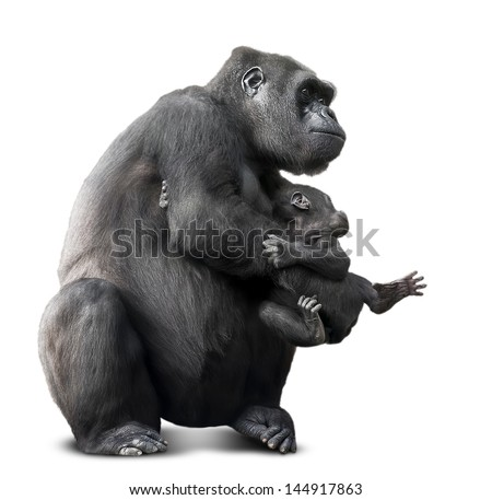big black gorilla and her baby.isolated on white - stock photo