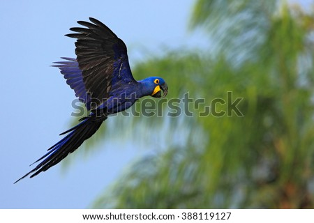 Big blue parrot Hyacinth Macaw, Anodorhynchus hyacinthinus, wild bird flying on the dark blue sky, action scene in the nature habitat, green palm tree in the background Pantanal, Brazil, South America - stock photo