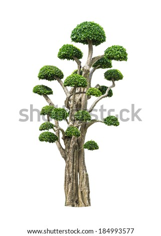 big bonsai tree in garden isolated on white - stock photo