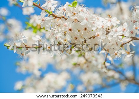big branch of blossoming cherry tree on sky instagram stile  - stock photo