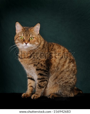 Big brindle cat with big yellow eyes isolated on dark green background,  - stock photo