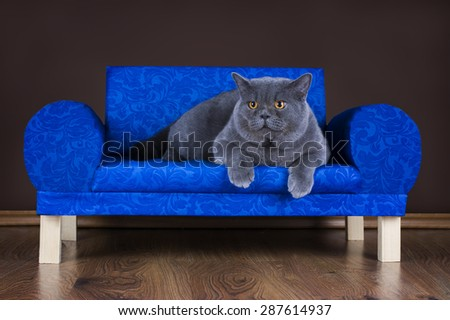 big British cat resting on the couch - stock photo