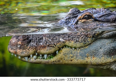 Big Brown and Yellow Amphibian Prehistoric Crocodile - stock photo