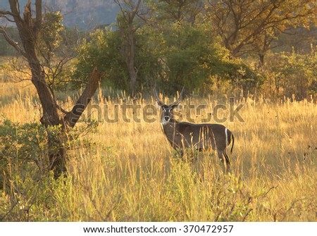 Big brown antelope Waterbuck Kobus ellipsiprymnus defassa,male, standing in colorful yellow dry grass lit by afternoon sun in savanna,staring directly at camera, bush in background, Zimbabwe.  - stock photo