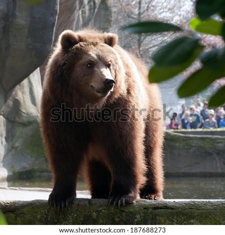 big brown bear closeup standing on zoo background - stock photo