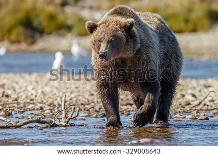 Big brown bear male searching for salmon - stock photo
