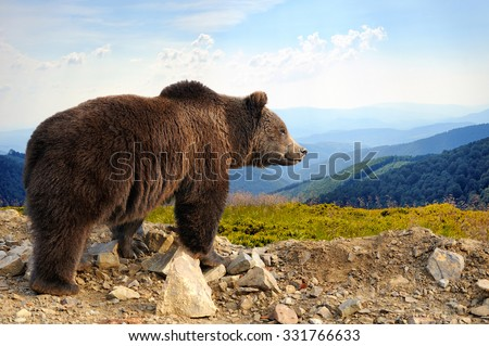 Big brown bear (Ursus arctos) in the mountain - stock photo