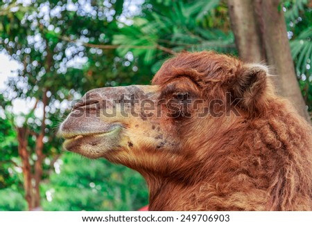 big brown camel in nature background - stock photo