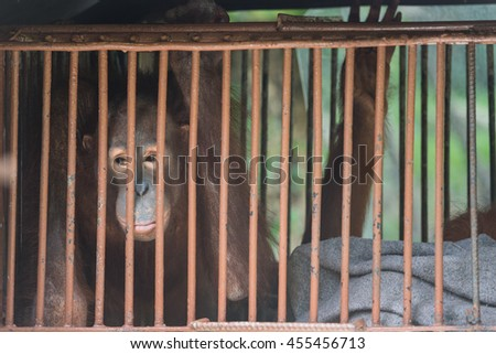 Big brown chimpanzee sits in the cage and looks with sad eyes. monkey in the prison - stock photo