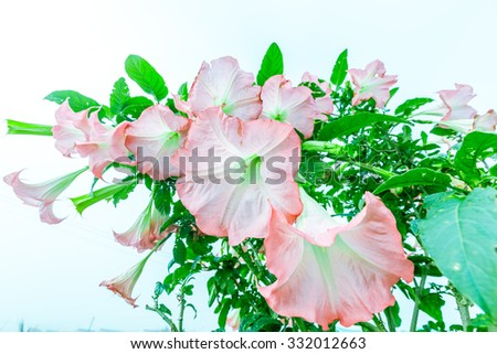 Big Brugmansia called Angels Trumpets or Datura flowers sag from twig. Plant with beautiful huge hanging flowers is popular in ornamental gardens, all parts of Brugmansia are deathly poisonous. - stock photo