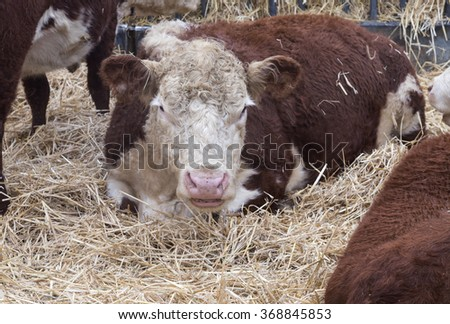 Big bull lying in straw at farm in winter - stock photo