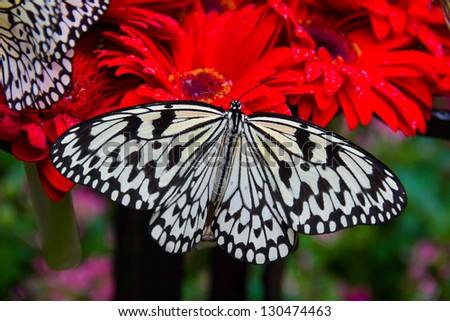 big butterfly on red Gerbera, Singapore Changi Airport - stock photo