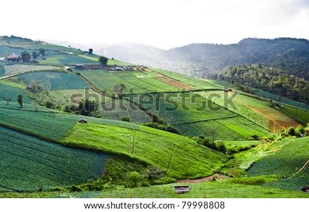 Big Cabbage farm on the mountain - stock photo