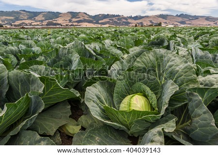 Big cabbage vegetables in field ready for harvest. - stock photo