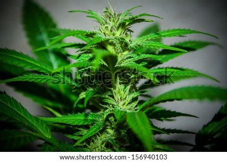 big cannabis marijuana plant detail - stock photo