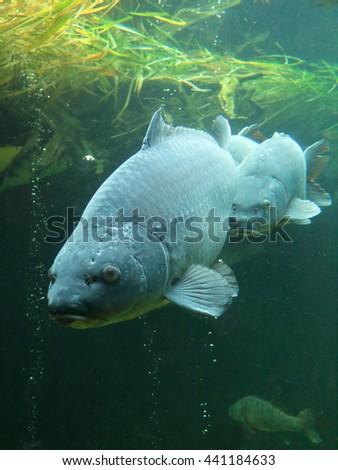 Big carps (Cyprinus carpio) underwater photo in lake. Diving in fresh water. - stock photo