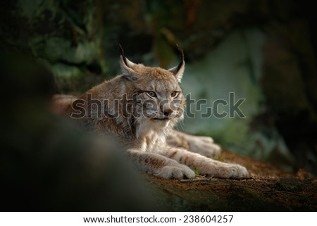 Big cat Eurasian Lynx sitting in rock - stock photo