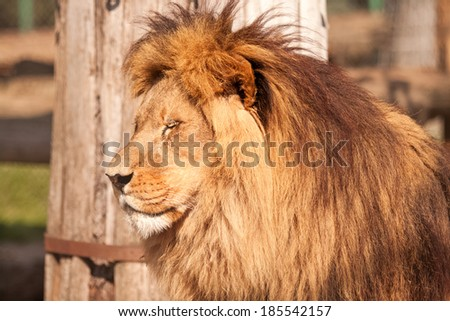 Big cat Lion enjoy on the sunny day - stock photo