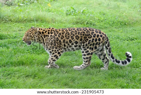 Big cat walking with spots showing full length - stock photo