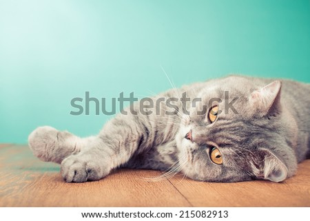 Big cat with yellow eyes laying on wooden table front mint green gradient background - stock photo