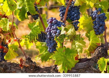 Big cluster of blue grapes on a branch close up - stock photo
