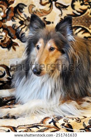 big collie dog - stock photo