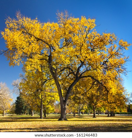 Big colorful fall tree on a sunny day in City Park - Denver, Colorado - stock photo