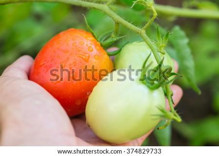 Big colorful ripe tomato in hand - stock photo