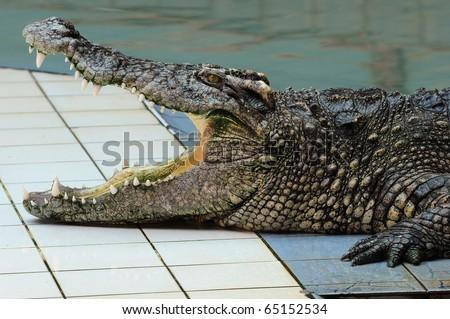 Big crocodile - stock photo