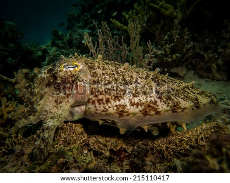Big cuttlefish (Sepia latimanus) - the perfect mimicry on the bottom. Indonesia, Togeans. - stock photo